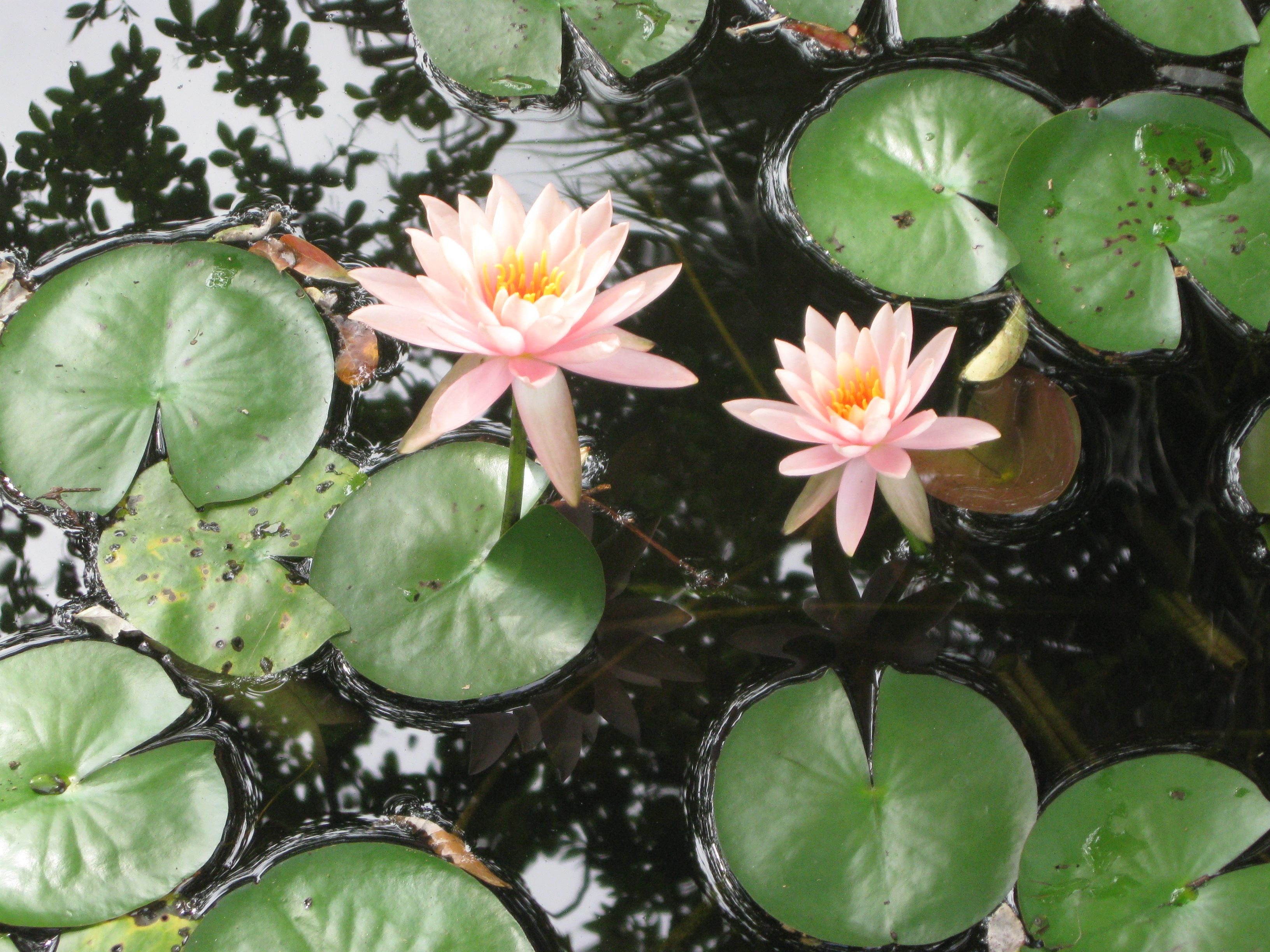 Restful pond with lily pads and coral flowers