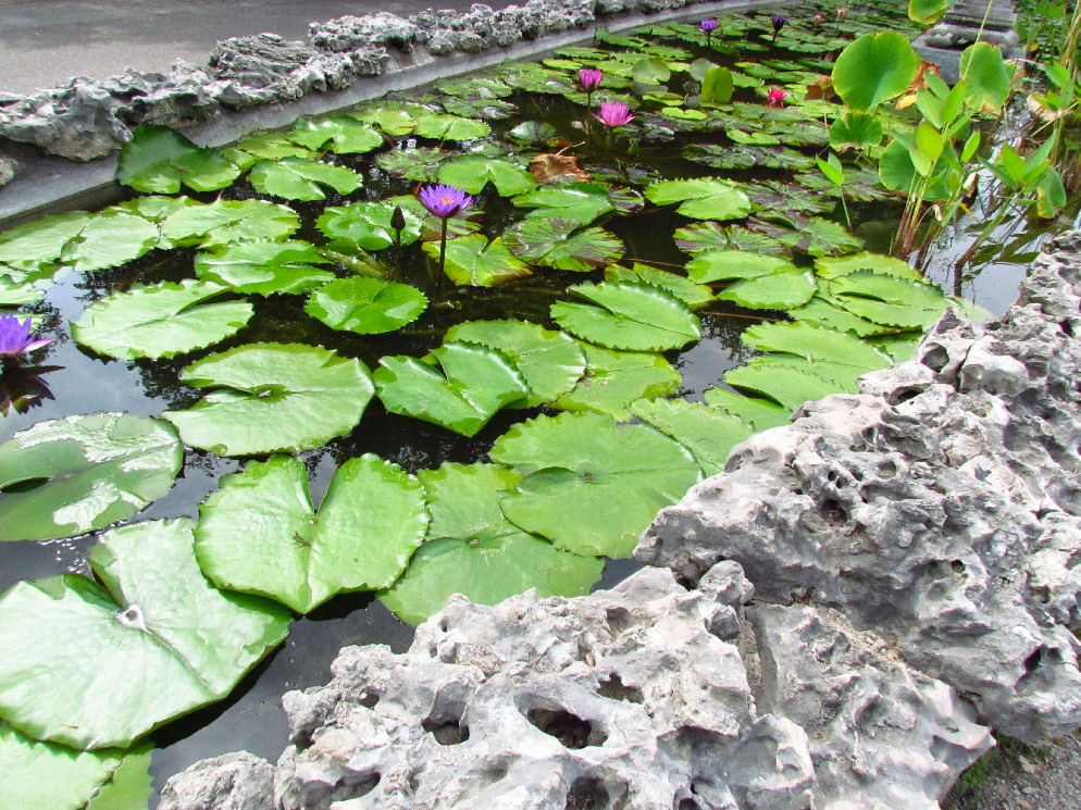 Restful pond with rocks and lily pads